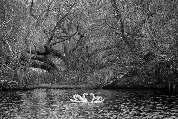 black and white picture of swans on a lake