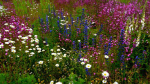 Wildflowers, Cammo Park, Edinburgh